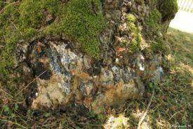 tulipier-arbre-sanglant-vienne-le-chateau-marne-yannick-morhan-5