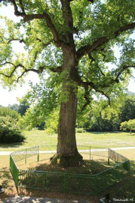 tulipier-arbre-sanglant-vienne-le-chateau-marne-yannick-morhan-7