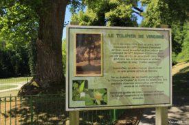 tulipier-arbre-sanglant-vienne-le-chateau-marne-yannick-morhan-9