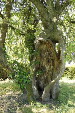 Vieux pommier de Mottisfont Abaye, Angleterre Yannick Morhan
