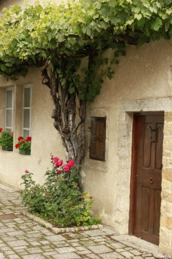 Vigne d'Arbois, Franche Comté, Yannick Morhan (39)