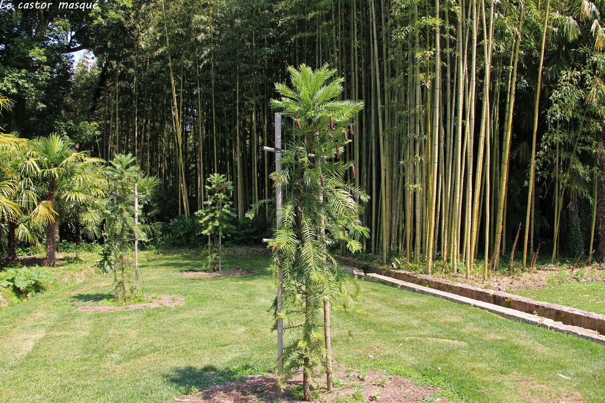 Wollemia-nobilis-bambouseraie-2016-4
