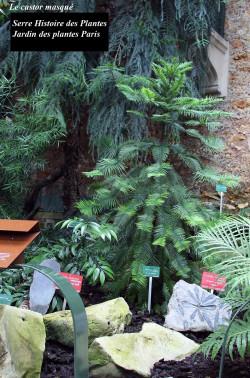 Wollemia-nobilis-serre-histoire-plantes-jardin-plantes-paris1