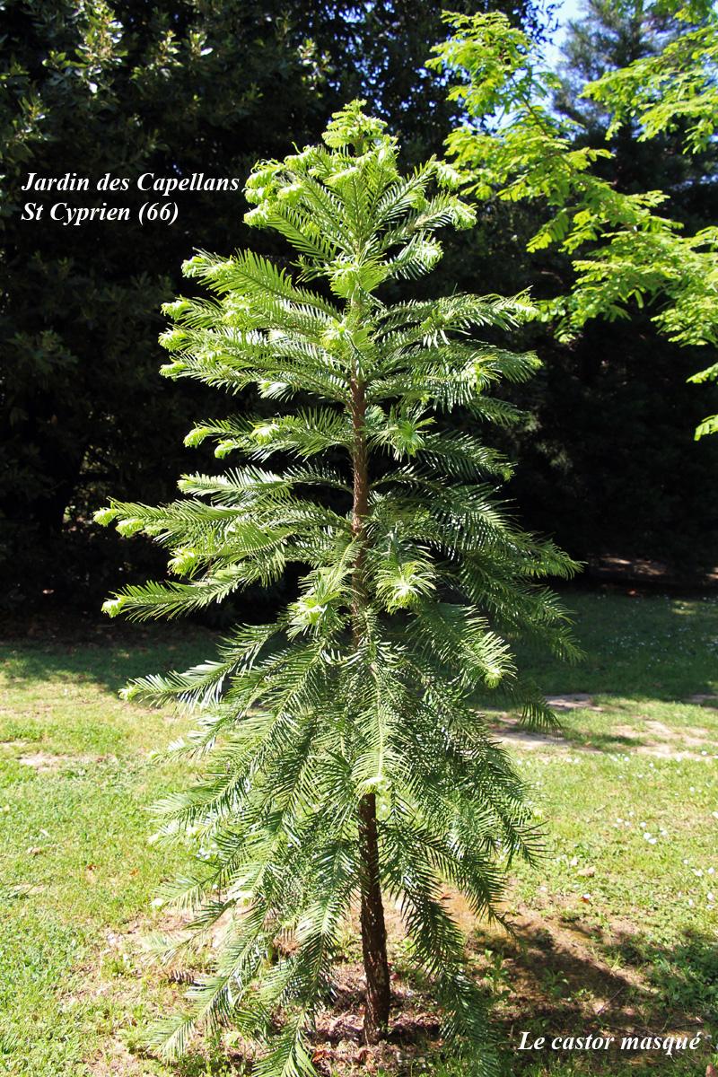 Wollemia-nobilis-st-cyprien1