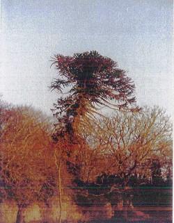 araucaria Pennendref