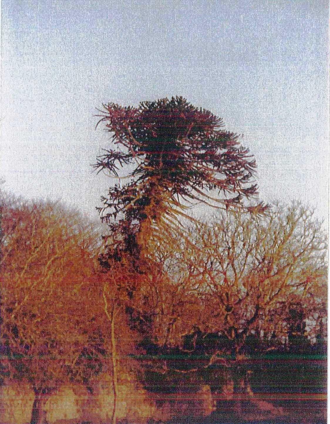 araucaria araucana croissance