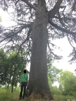 arbres château du Plessis-Bourré, Maine et Loire, Jean Luard (4)