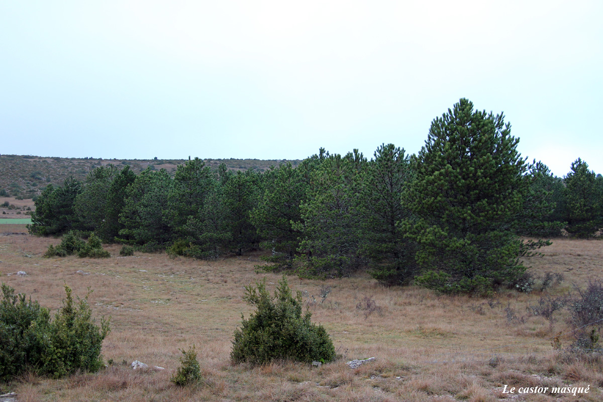 arbres-liberté-millau03