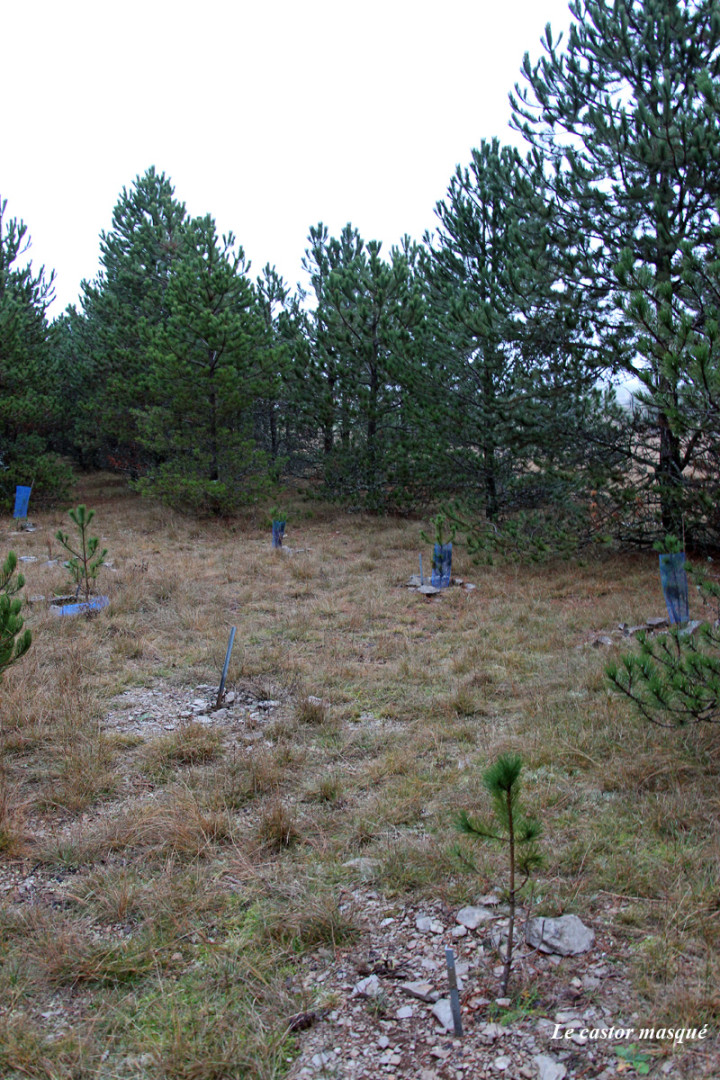 arbres-liberté-millau05