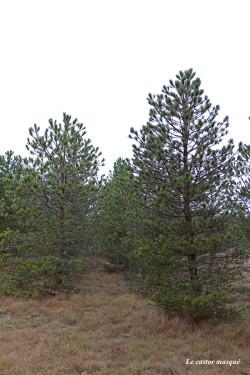 arbres-liberté-millau06