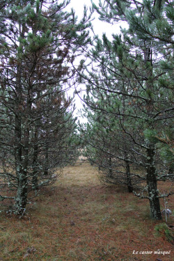 arbres-liberté-millau07