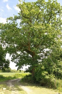 autres chênes de coet an bars, Mellionnec, Côtes d'Armor, Yannick Morhan (22)