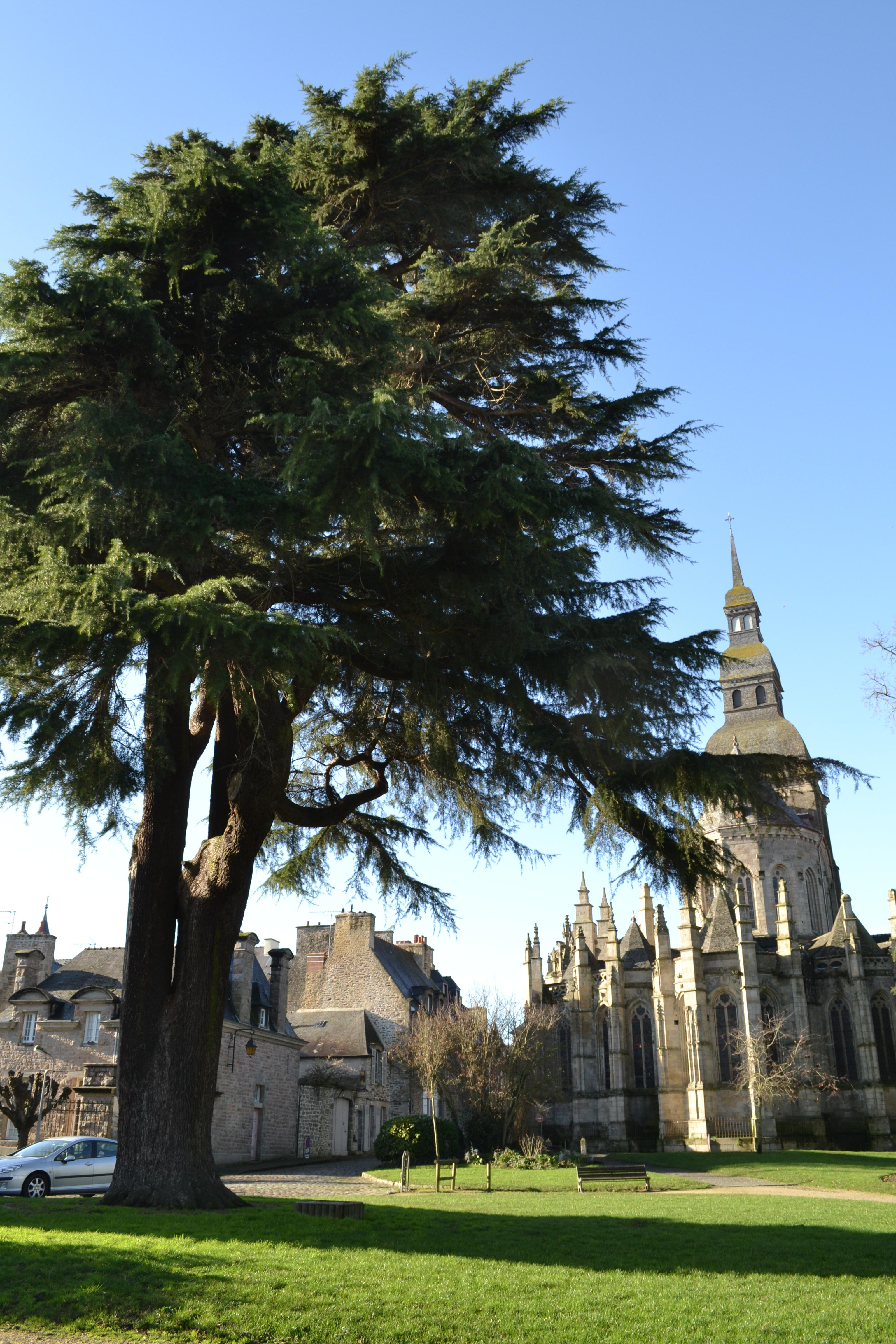 Cedre Himalaya Jardin Anglais 1 Les Tetards Arboricoles