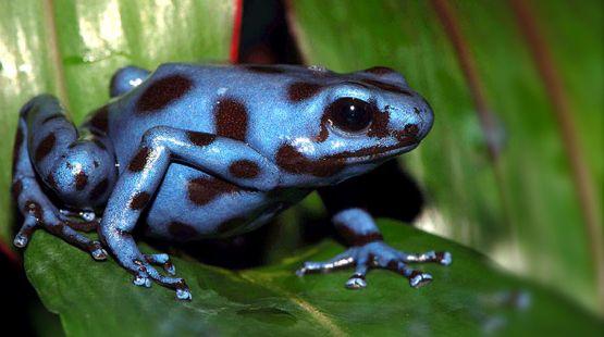 c-tabasara-rain-frog