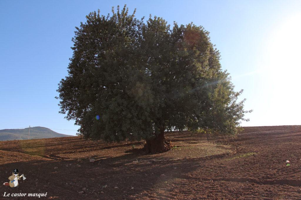 caroubier-maroc1