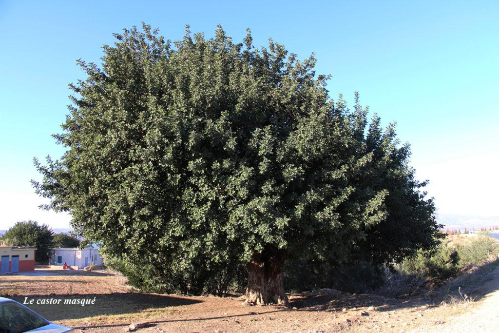 caroubier-maroc3