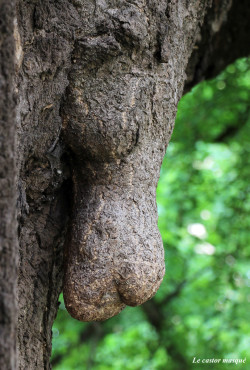 castor-Ginkgo-biloba-annecy-2015-4