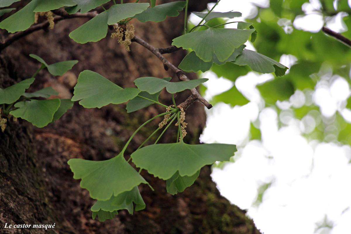 castor-fleurs-males-ginkgo-biloba-annecy