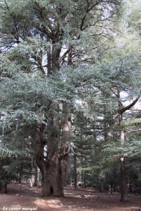 cedre-rachid-azrou-2015-1