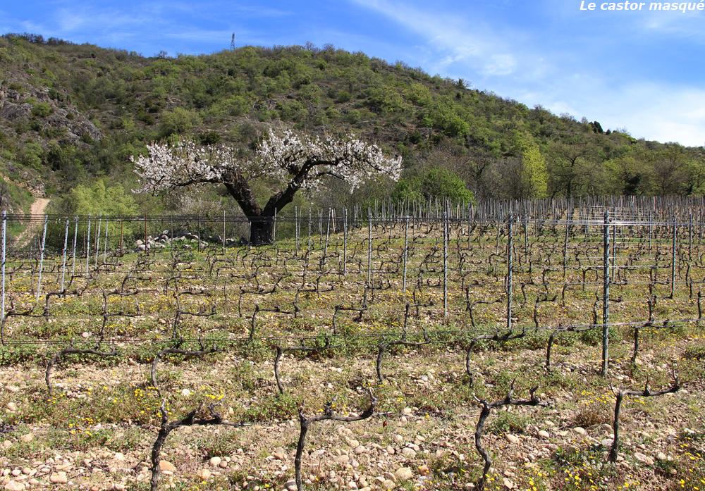 cerisier-crozes-hermitage02