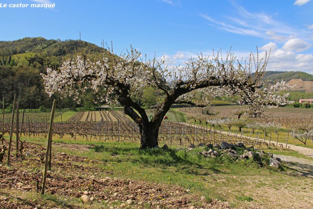cerisier-crozes-hermitage03
