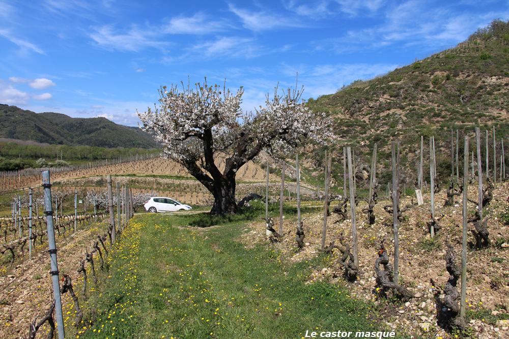 cerisier-crozes-hermitage04