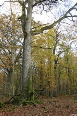 chêne 2 Herméville-en-Woëvre, Meuse Yannick Morhan (13)