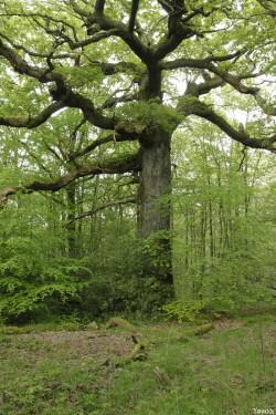 chêne des hindrés, Paimpont, Ille et Vilaine, Yannick Morhan (1)