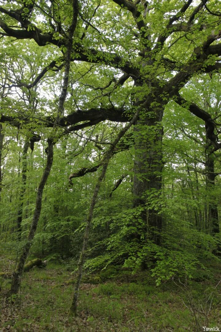 chêne des hindrés, Paimpont, Ille et Vilaine, Yannick Morhan (2)
