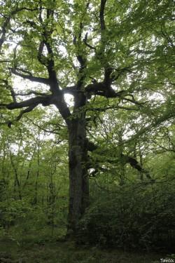 chêne des hindrés, Paimpont, Ille et Vilaine, Yannick Morhan (3)