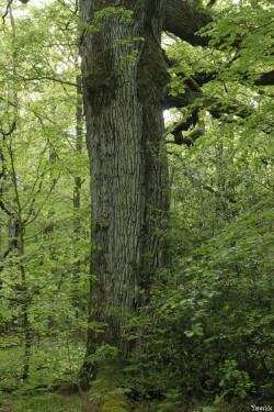 chêne des hindrés, Paimpont, Ille et Vilaine, Yannick Morhan (4)
