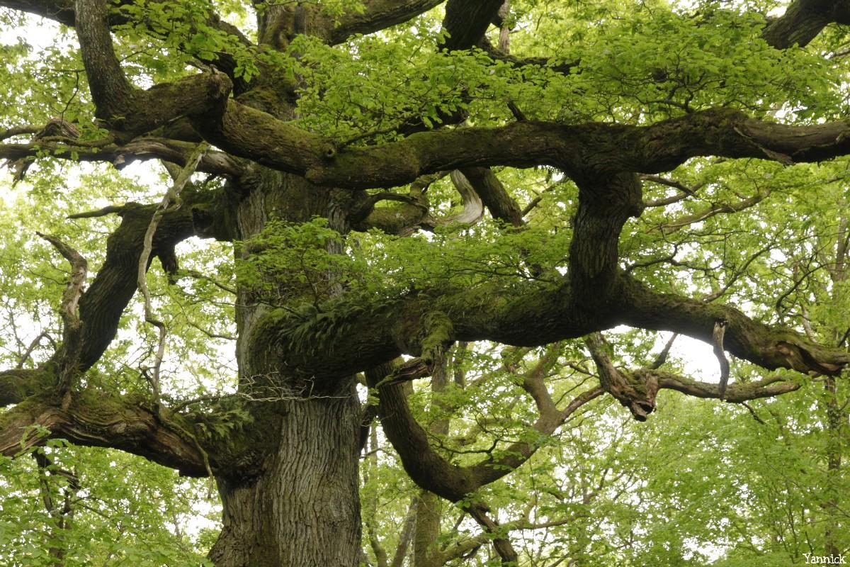 chêne des hindrés, Paimpont, Ille et Vilaine, Yannick Morhan (5)