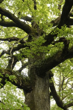 chêne des hindrés, Paimpont, Ille et Vilaine, Yannick Morhan (6)