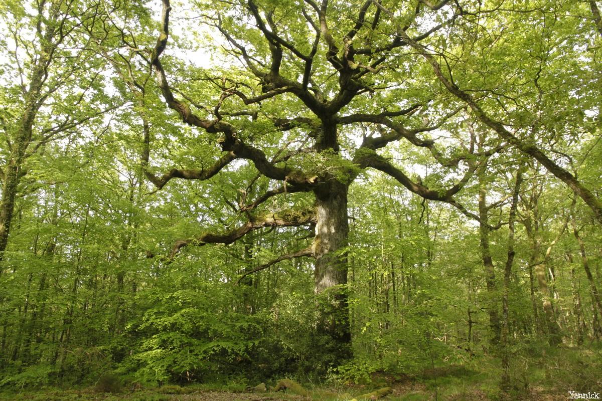 chêne des hindrés, Paimpont, Ille et Vilaine, Yannick Morhan (7)