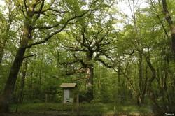 chêne des hindrés, Paimpont, Ille et Vilaine, Yannick Morhan (8)