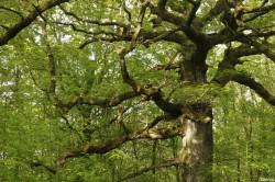 chêne des hindrés, Paimpont, Ille et Vilaine, Yannick Morhan (9)