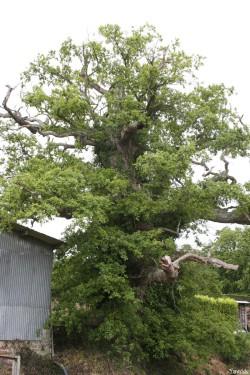 chêne du Margaro à Rouillac, Côtes d'Armor Yannick Morhan 2007 (1)