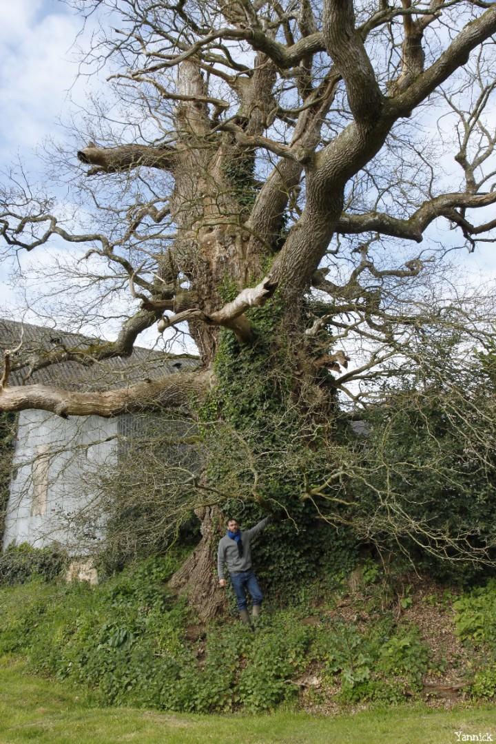 chêne du Margaro à Rouillac, Côtes d'Armor, Yannick Morhan avril 2014 (2)