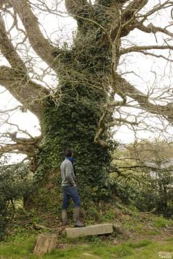 chêne du Margaro à Rouillac, Côtes d'Armor, Yannick Morhan avril 2014 (3)