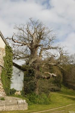 chêne du Margaro à Rouillac, Côtes d'Armor, Yannick Morhan avril 2014 (4)