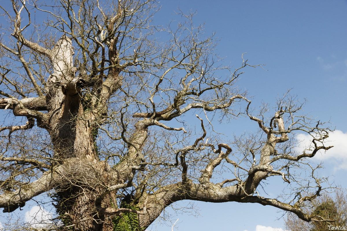 chêne du Margaro à Rouillac, Côtes d'Armor, Yannick Morhan avril 2014 (5)