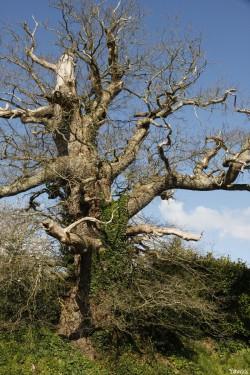 chêne du Margaro à Rouillac, Côtes d'Armor, Yannick Morhan avril 2014 (6)