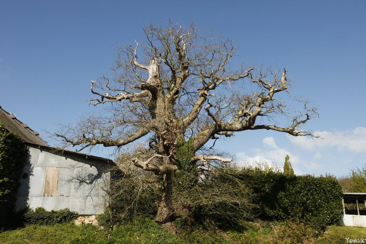 chêne du Margaro à Rouillac, Côtes d'Armor, Yannick Morhan avril 2014 (7)