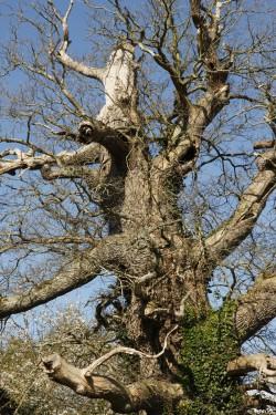 chêne du Margaro à Rouillac, Côtes d'Armor, Yannick Morhan avril 2014 (8)