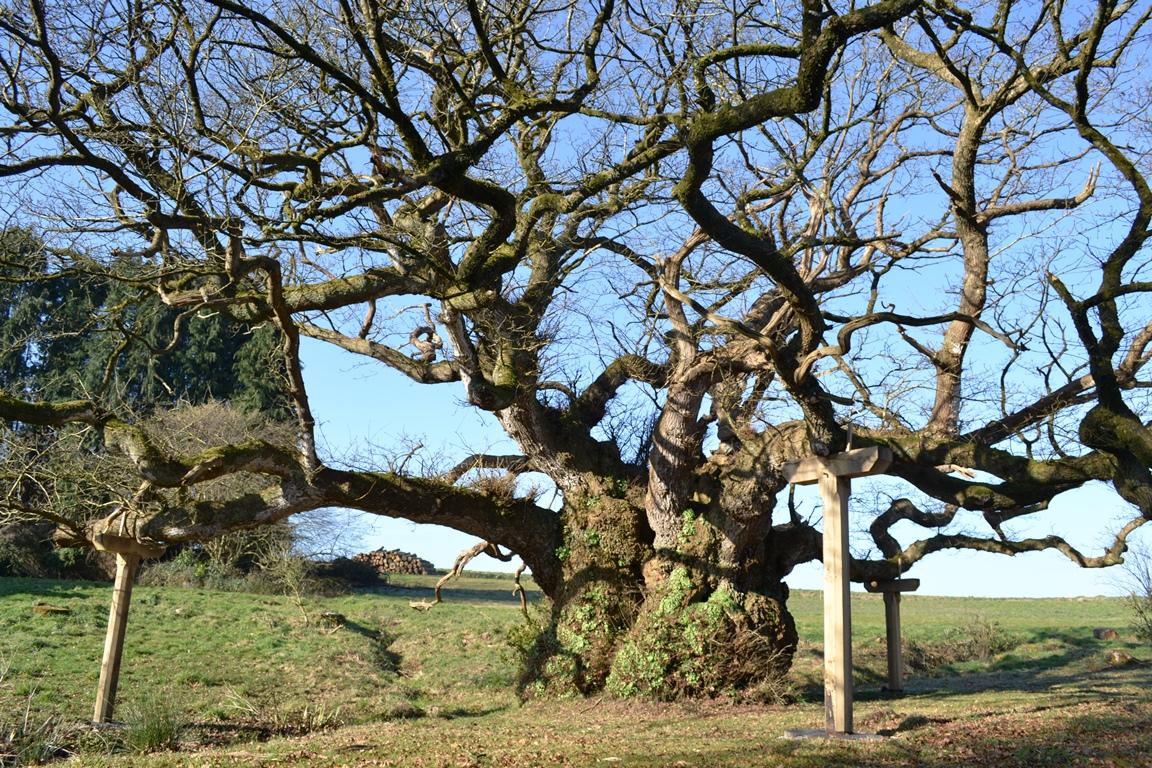 chêne tronjoly redim (3)
