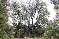 chene-vert-pic-st-loup2014-03-castor