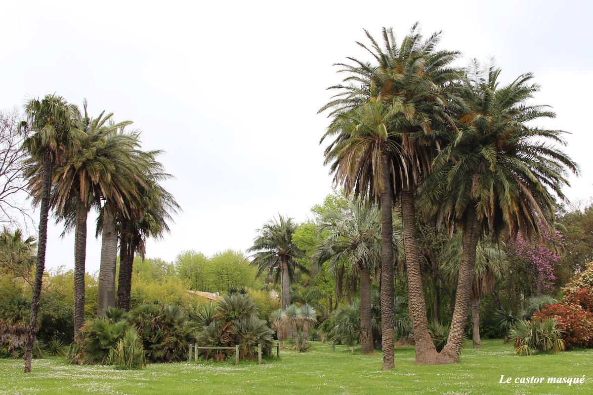 cocotier-du-chili-jubae-chilensis-capellans7