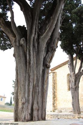 cyprès-commun-caderot-berre04