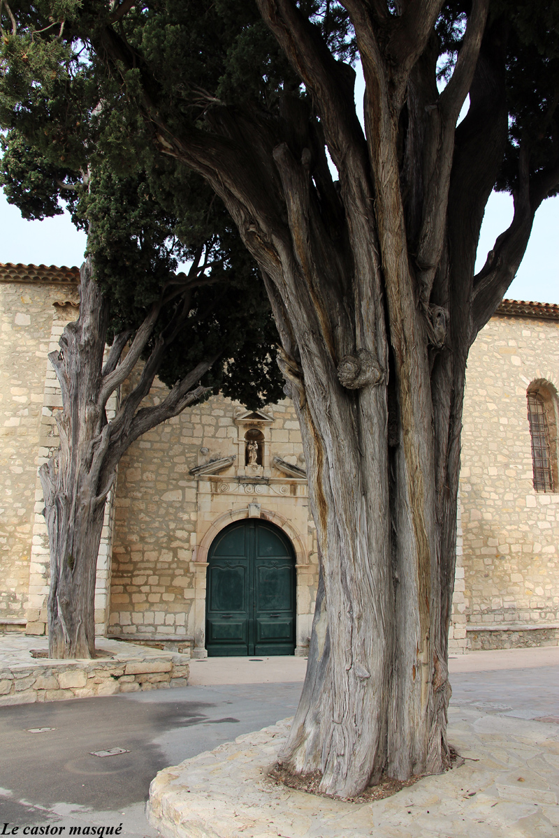 cyprès-commun-caderot-berre05