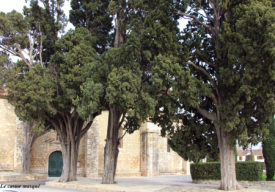 cyprès-commun-caderot-berre07